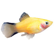 Gold Twin-barred Platy