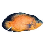 Red Oscar Cichlid