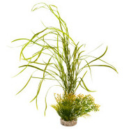 Blue Ribbon Lily Grass Plant